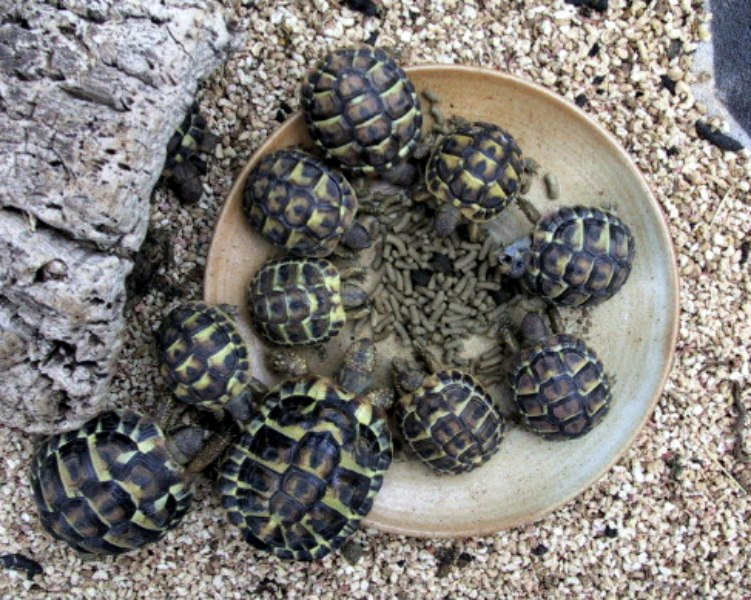 Bébés Tortues de Hermann