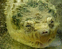Tortue hargneuse
